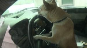 "Chihuahua ""ruba"" auto e causa incidente"