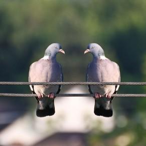 Polizia ispeziona il sedere di 10.000 piccioni in cerca di esplosivi
