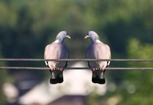 una-coppia-di-piccioni